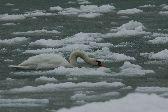 zimujący na zatoce łabędź