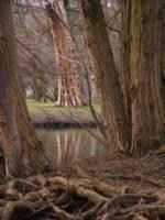 drzewa_oliwa.jpg