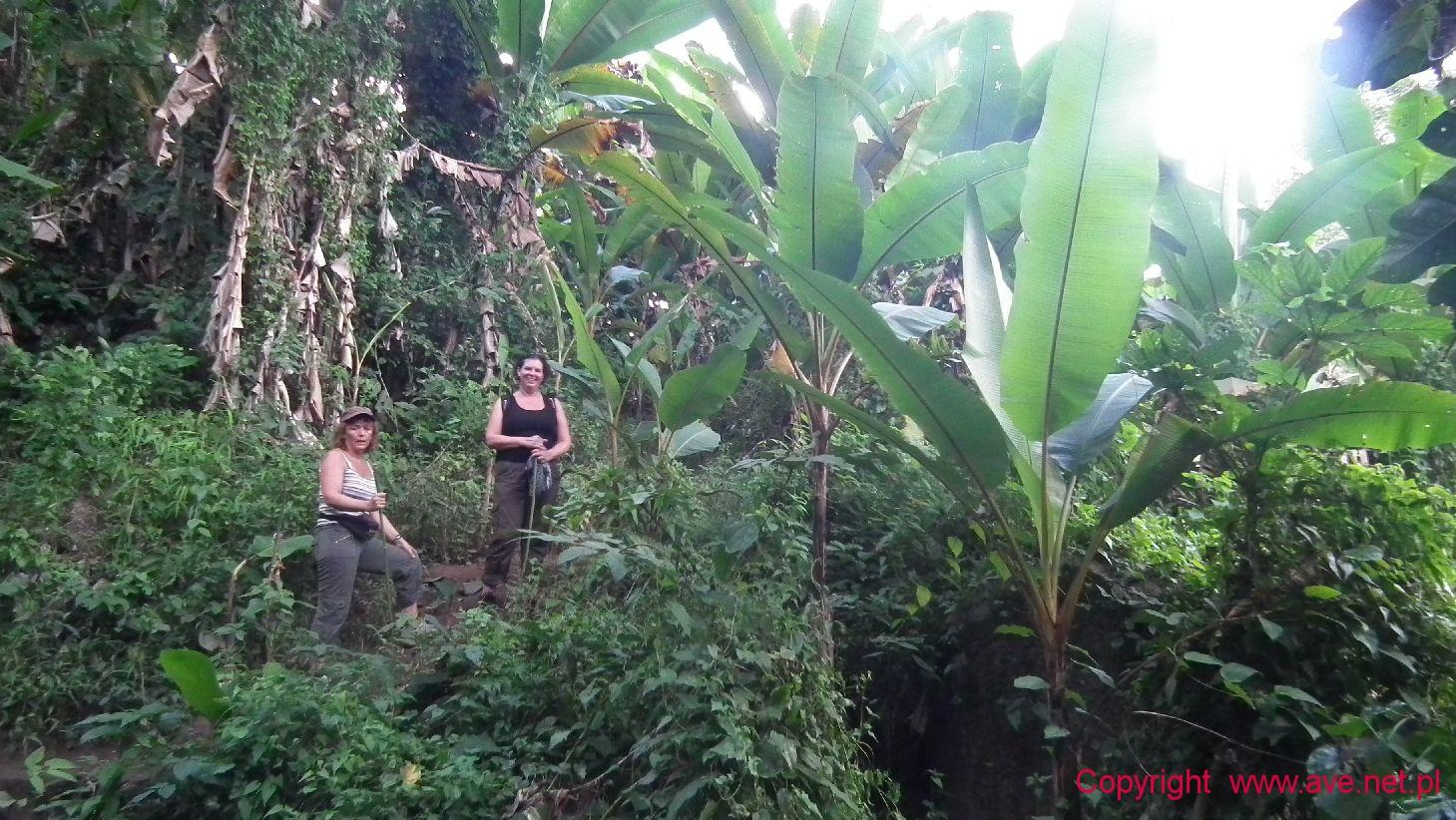 Bananowa dżungla