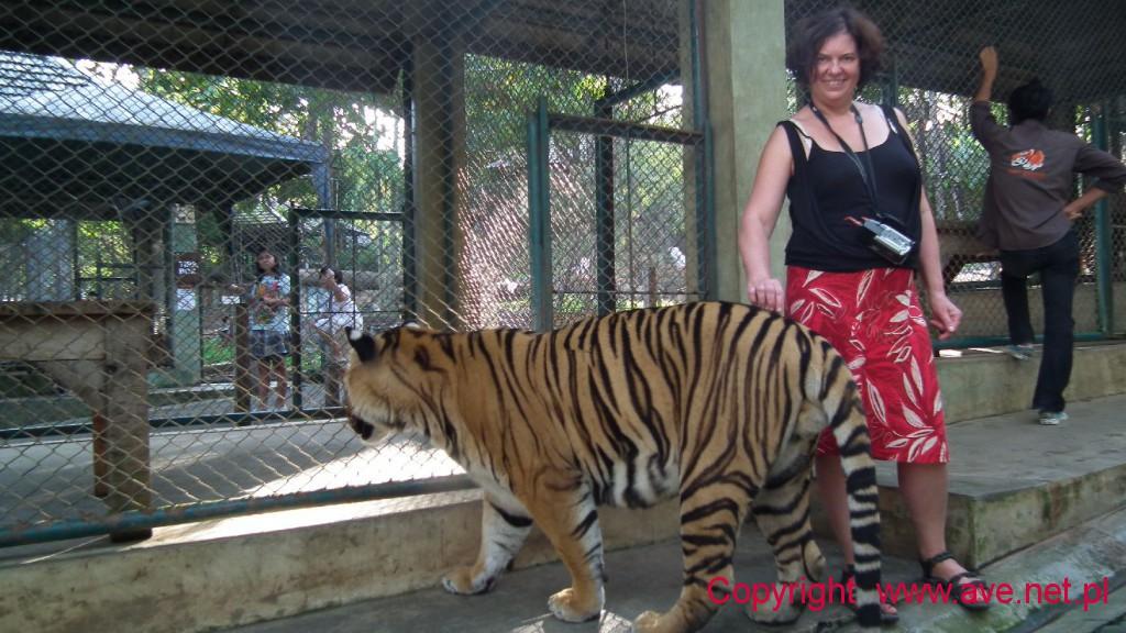 Tygrysia treserka