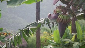 Owoce i kwiat bananowca