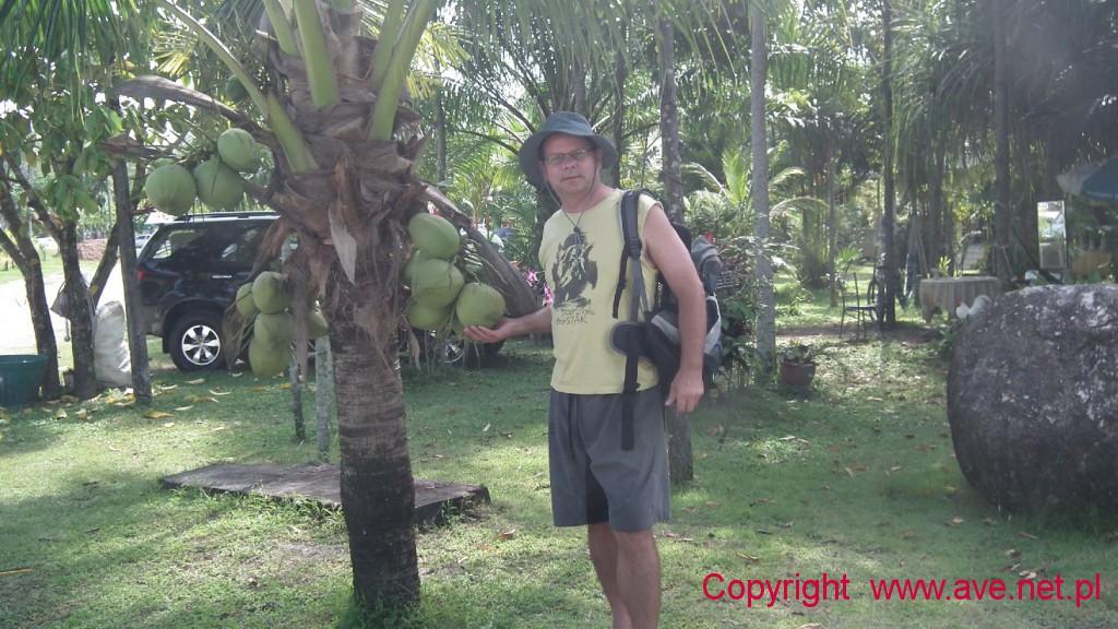 Kokosy na palmie przed naszym domkiem wyjątkowo obficie obrodziły.