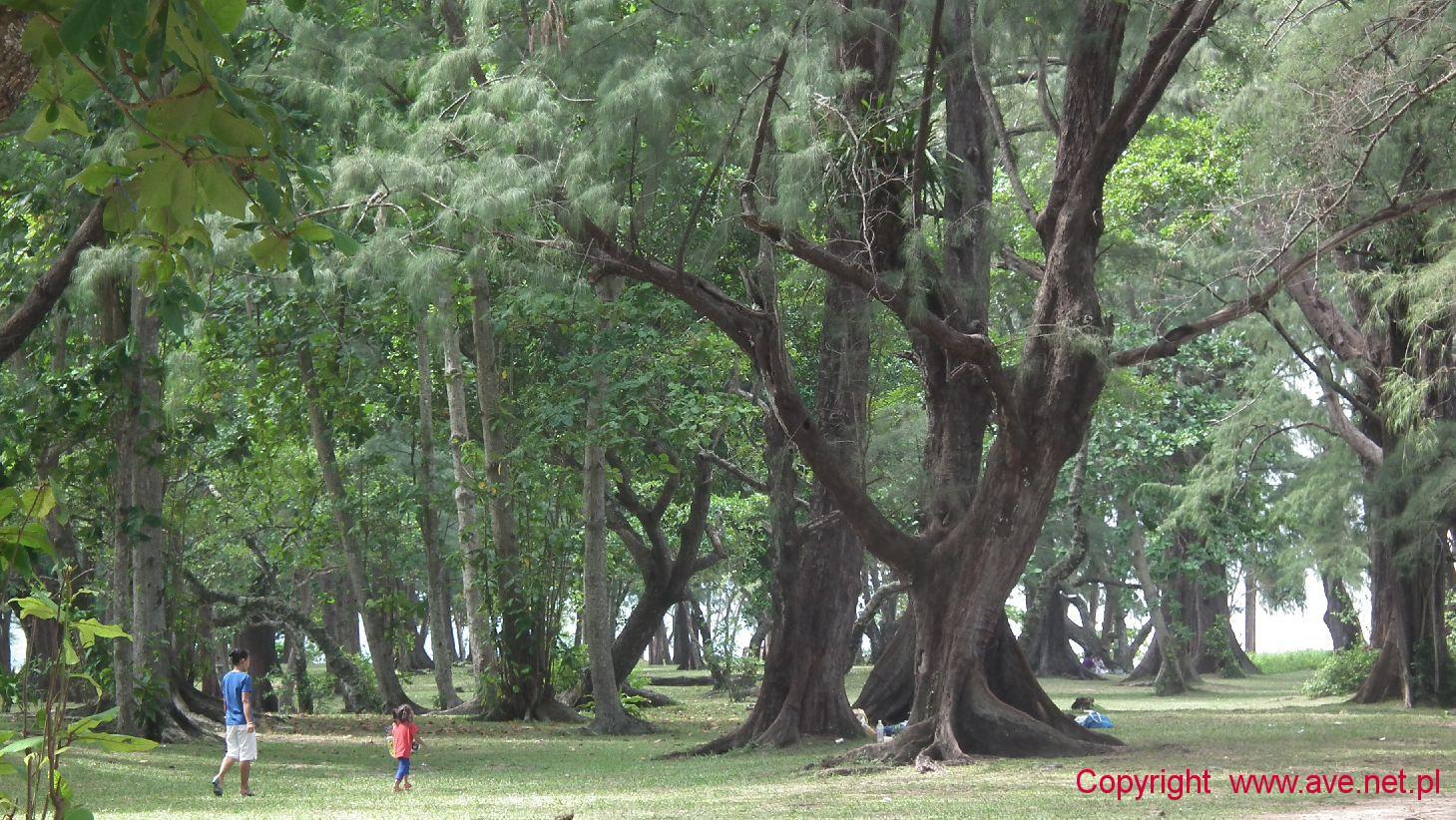 Stare olbrzymie drzewa kazuarynowe
