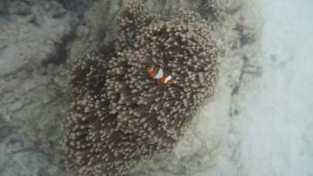 Rybka Nemo, błazenek